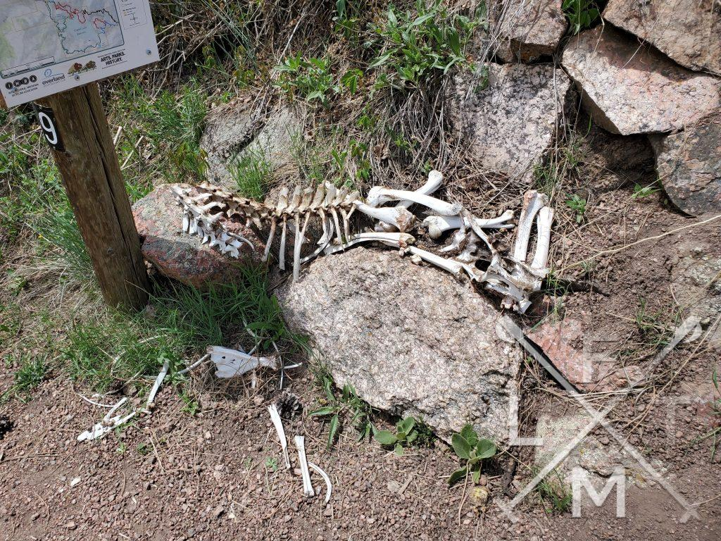 A skeleton of what looks like a small deer has been completely stripped clean by predators and sits on a rock at the base of a trail sign