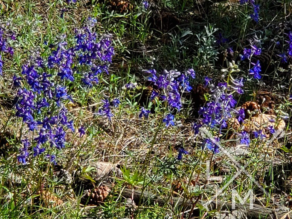 Wildflowers blooming at White Ranch Park.  The flowers purple blooms stand out against the brown and gray, rocky and dirty landscape