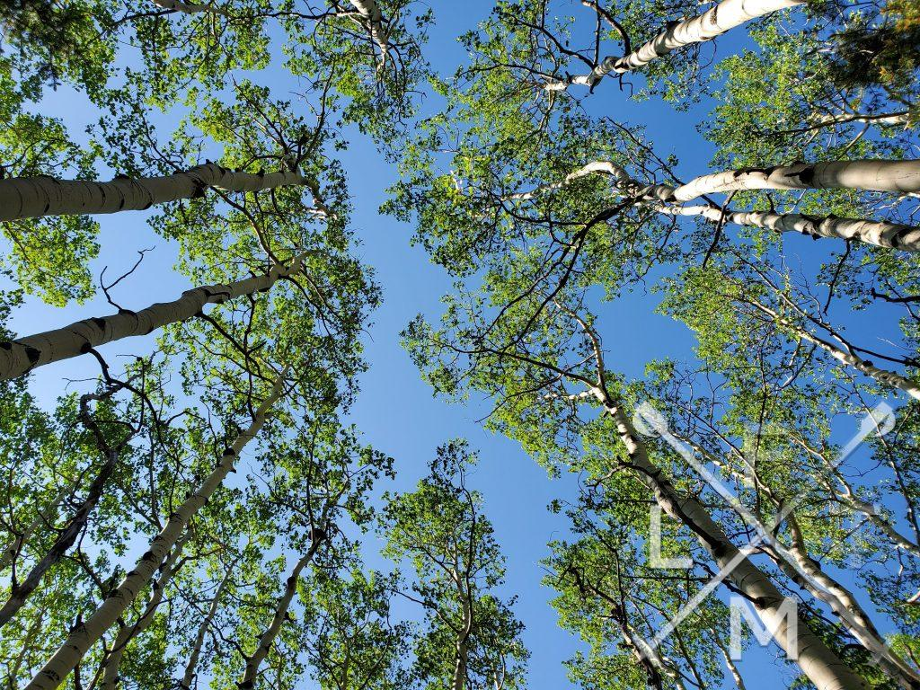 Aspen trees stretch towards the sky in the middle portion of the Ben Tyler Trail.