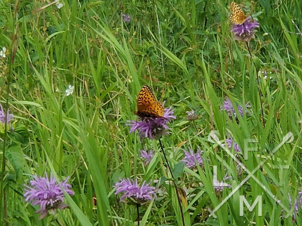 Two butterflies landing on seperate flower buds with their wings spread to show a black and orange pattern in contrast to the purple flowers.