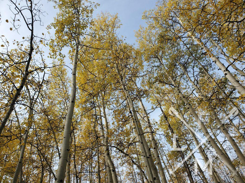 Some tall aspen trees with golden yellow leaves at the top.